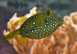 Poisson-coffre jaune. Source : http://data.abuledu.org/URI/555c8f42-poisson-coffre-jaune