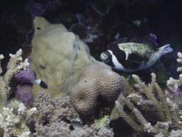 Poisson-globe masqué. Source : http://data.abuledu.org/URI/5547dfd9-poisson-globe-masque