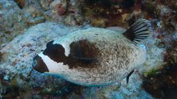 Poisson-globe masqué. Source : http://data.abuledu.org/URI/5547e00c-poisson-globe-masque