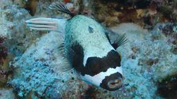 Poisson-globe masqué. Source : http://data.abuledu.org/URI/5547e01c-poisson-globe-masque