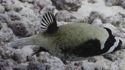 Poisson-globe masqué. Source : http://data.abuledu.org/URI/5547e028-poisson-globe-masque