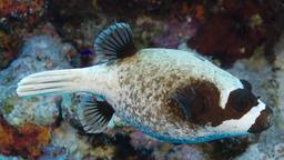 Poisson-globe masqué. Source : http://data.abuledu.org/URI/5547e03b-poisson-globe-masque