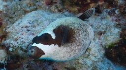 Poisson-globe masqué. Source : http://data.abuledu.org/URI/5547e045-poisson-globe-masque