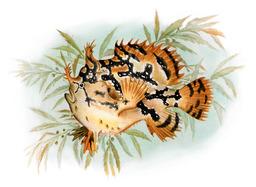 Poisson-grenouille des Sargasses. Source : http://data.abuledu.org/URI/50e4041e-poisson-grenouille-des-sargasses