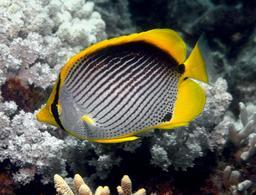 Poisson-papillon à dos noir. Source : http://data.abuledu.org/URI/55317e99-poisson-papillon-a-dos-noir