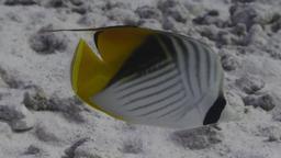 Poisson-papillon cocher. Source : http://data.abuledu.org/URI/5544c92b-poisson-papillon-cocher