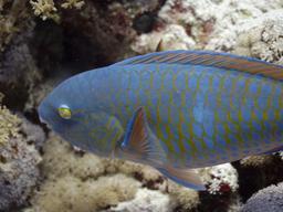 Poisson-perroquet à écailles jaunes. Source : http://data.abuledu.org/URI/55461532-poisson-perroquet-a-ecailles-jaunes
