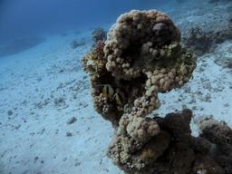 Poissons-cochers de la Mer Rouge. Source : http://data.abuledu.org/URI/554485b6-poissons-cocher-de-mer-rouge