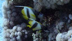 Poissons-cochers de la Mer Rouge. Source : http://data.abuledu.org/URI/554485e0-poissons-cocher-de-mer-rouge