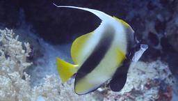 Poisson-cocher de la Mer Rouge. Source : http://data.abuledu.org/URI/554485f2-poissons-cocher-de-mer-rouge