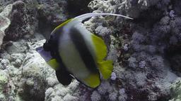 Poisson-cocher de la Mer Rouge. Source : http://data.abuledu.org/URI/55448605-poissons-cocher-de-mer-rouge