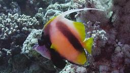 Poisson-cocher de la Mer Rouge. Source : http://data.abuledu.org/URI/55448616-poissons-cocher-de-mer-rouge