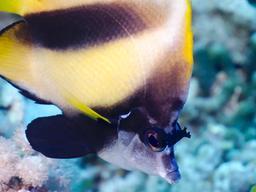 Poisson-cocher de la Mer Rouge. Source : http://data.abuledu.org/URI/55448637-poissons-cocher-de-mer-rouge