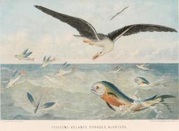 Poissons volants, dorades et albatros en 1866. Source : http://data.abuledu.org/URI/59457248-poissons-volants-dorades-et-albatros-en-1866