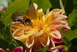 Pollinisation d'un dalhia par un bourdon. Source : http://data.abuledu.org/URI/54db7919-pollinisation-d-un-dalhia-par-un-bourdon