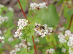 Pollinisation de fleurs de sarrasin. Source : http://data.abuledu.org/URI/54ba92d3-pollinisation-de-fleurs-de-sarrasin