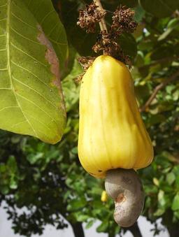 Pomme de cajou et sa noix 1. Source : http://data.abuledu.org/URI/5209eb78-pomme-de-cajou-et-sa-noix-1