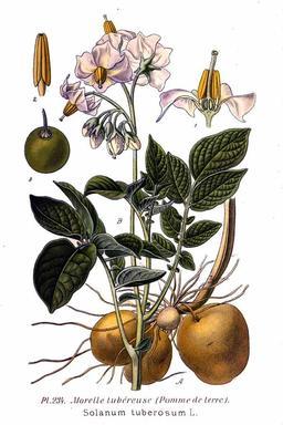 Pomme de terre. Source : http://data.abuledu.org/URI/505da80e-pomme-de-terre
