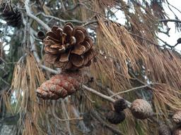 Pommes de pin dans l'Aude. Source : http://data.abuledu.org/URI/554501f9-pommes-de-pin-dans-l-aude