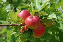 Pommes en été. Source : http://data.abuledu.org/URI/59097a20-pommes-en-ete
