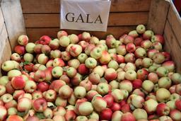 Pommes Gala. Source : http://data.abuledu.org/URI/5342795a-pommes-gala
