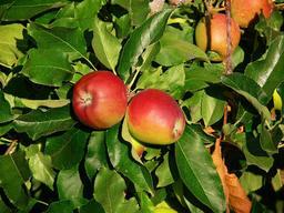 Pommes Gala sur l'arbre. Source : http://data.abuledu.org/URI/534279bc-pommes-gala-sur-l-arbre