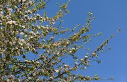 Pommier en fleurs. Source : http://data.abuledu.org/URI/5652ce3e-pommier-en-fleurs