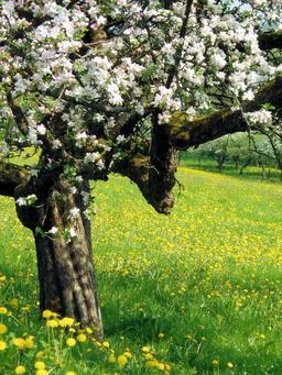 Pommier en fleurs au printemps. Source : http://data.abuledu.org/URI/504e4d95-pommier-en-fleurs-au-printemps