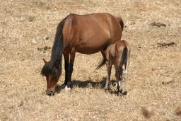 Poney grec allaitant son petit. Source : http://data.abuledu.org/URI/52710429-poney-grec-allaitant-son-petit