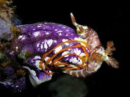 Ponte par une limace de mer sur une ascidie. Source : http://data.abuledu.org/URI/58490869-ponte-par-une-limace-de-mer-sur-une-ascidie