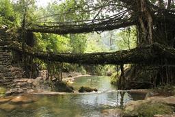 Ponts et racines en Inde. Source : http://data.abuledu.org/URI/53ac6268-ponts-et-racines-en-inde