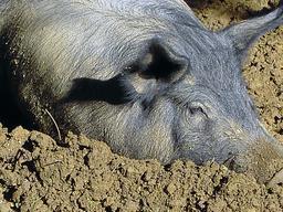 Porc dans un bain de boue. Source : http://data.abuledu.org/URI/53309dbe-porc-dans-un-bain-de-boue