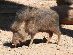 Porc sauvage d'Amérique. Source : http://data.abuledu.org/URI/516c5845-porc-sauvage-d-amerique
