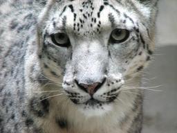 Portrait d'un léopard des neiges. Source : http://data.abuledu.org/URI/50e0dfc7-portrait-d-un-leopard-des-neiges