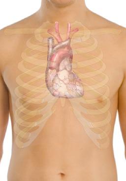 Position anatomique du coeur humain. Source : http://data.abuledu.org/URI/5330bbe7-position-anatomique-du-coeur-humain