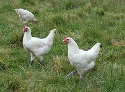 poulet de bresse. Source : http://data.abuledu.org/URI/504f2d2b-poulet-de-bresse