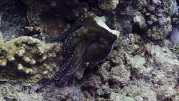 Poulpe de récif commun. Source : http://data.abuledu.org/URI/554364f8-poulpe-de-recif-commun