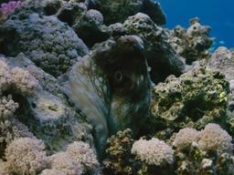 Poulpe de récif commun. Source : http://data.abuledu.org/URI/55436506-poulpe-de-recif-commun