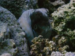 Poulpe de récif commun. Source : http://data.abuledu.org/URI/55436512-poulpe-de-recif-commun