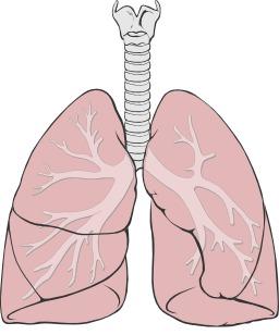 Poumons humains. Source : http://data.abuledu.org/URI/53aaf2cd-poumons-humains
