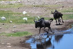 Poursuite de gnous bleus. Source : http://data.abuledu.org/URI/52d1a175-poursuite-de-gnous-bleus