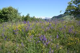 Prairie de sauge en fleurs. Source : http://data.abuledu.org/URI/5071d17d-prairie-de-sauge-en-fleurs