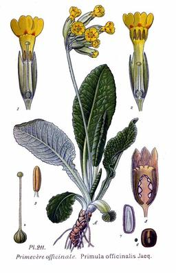 Primevère officinale. Source : http://data.abuledu.org/URI/505a065c-primevere-officinale