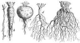 Principaux types de racines. Source : http://data.abuledu.org/URI/503b6d9d-principaux-types-de-racines
