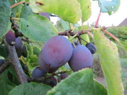 prune. Source : http://data.abuledu.org/URI/501bd9d7-prune