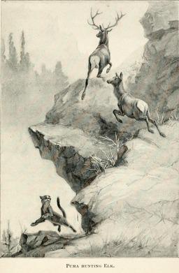 Puma chassant des élans. Source : http://data.abuledu.org/URI/587fb0cc-puma-chassant-des-elans