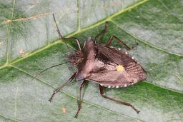 Punaise à pattes rousses. Source : http://data.abuledu.org/URI/5461e15e-punaise-a-pattes-rousses
