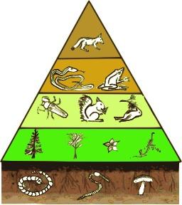 Pyramide des étages trophiques. Source : http://data.abuledu.org/URI/529a51a7-pyramide-des-etages-trophiques
