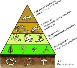 Pyramide des étages trophiques. Source : http://data.abuledu.org/URI/529a525f-pyramide-des-etages-trophiques