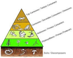 Pyramide trophique. Source : http://data.abuledu.org/URI/50f9dc66-pyramide-trophique